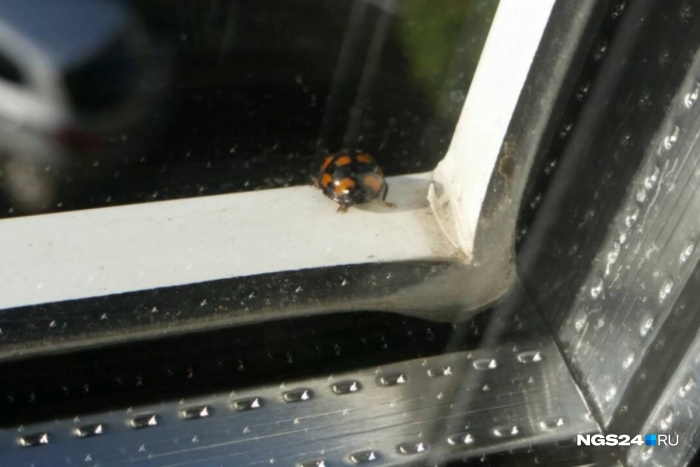 Красивые чёрные насекомые облепляют подоконники многоэтажек и залетают в квартиры через открытые окна