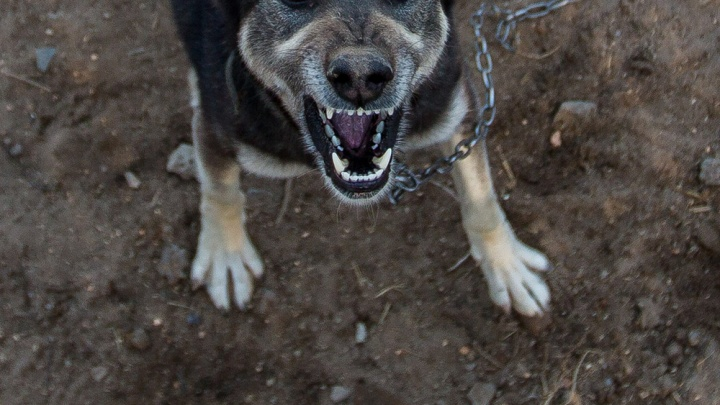 Собаку, которая разорвала 4-летнего мальчика в Коченёво, забрали в полицию