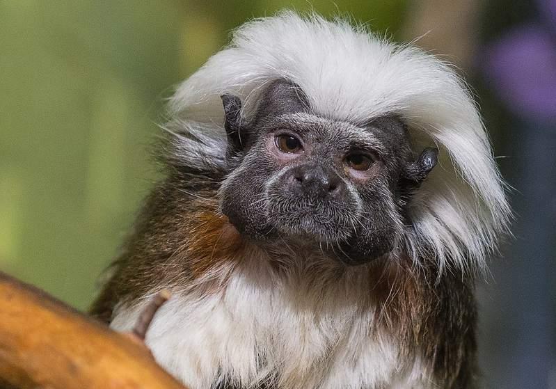 ВКрасноярск приехала особая обезьянка покличке Эйнштейн