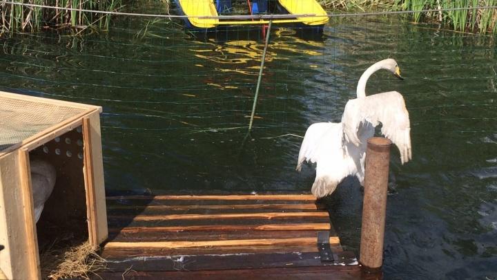 Два лебедя поселились в парке 30-летия ВЛКСМ