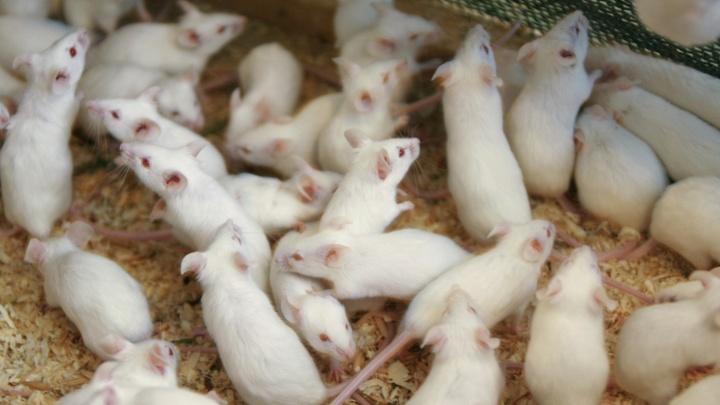 Пьяные мыши: новосибирские учёные доказали, что палёный алкоголь разрушает ДНК печени