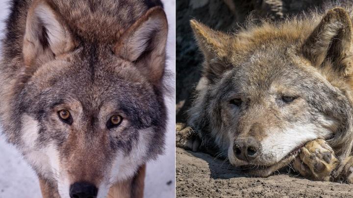 «Он прожил 100 лет по меркам человека»: в «Роевом ручье» скончалось одно из первых животных парка