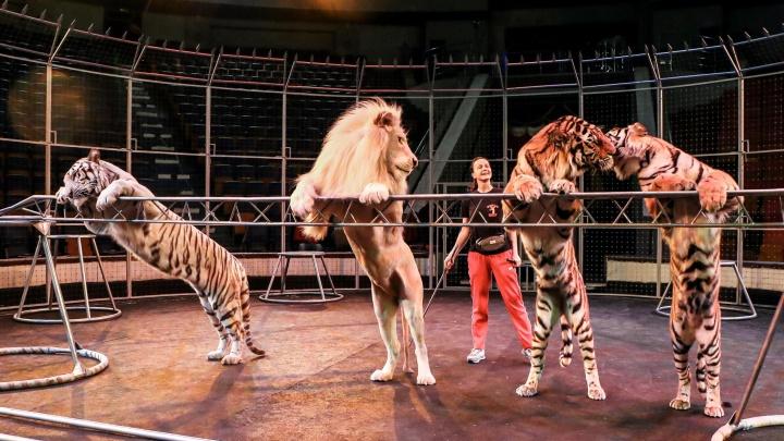 «Животные у нас тоже великие»: как NN.RU побывал на репетиции циркового шоу с Михаилом Багдасаровым