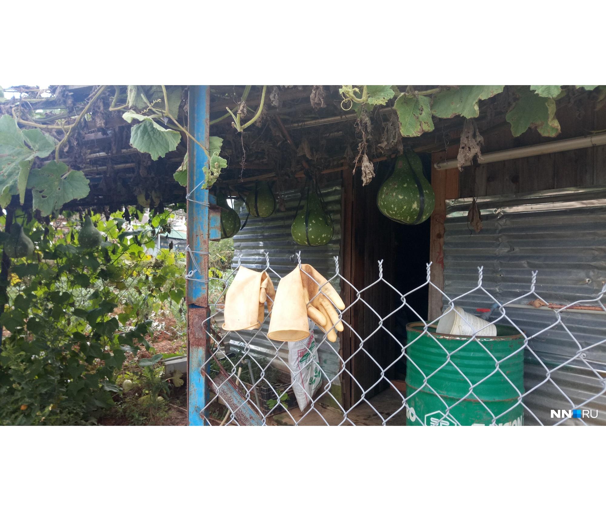 Из этих плодов вьетнамцы делают сосуды для воды<br>
