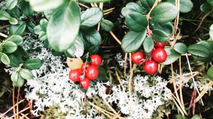 Минприроды определяет, когда мне можно собирать ягоды? Что? Разбираемся в громком новостном поводе