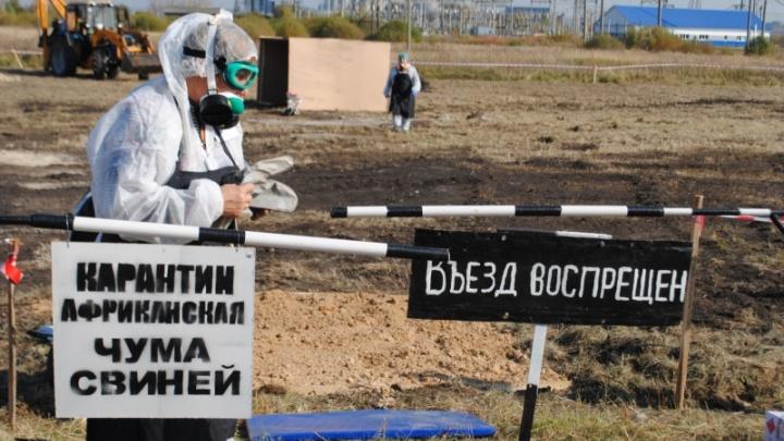 В Омской области объявили об окончании карантина из-за африканской чумы свиней