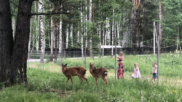 Бэмби и его подружка: в посёлок под Новосибирском привезли пятнистых оленей