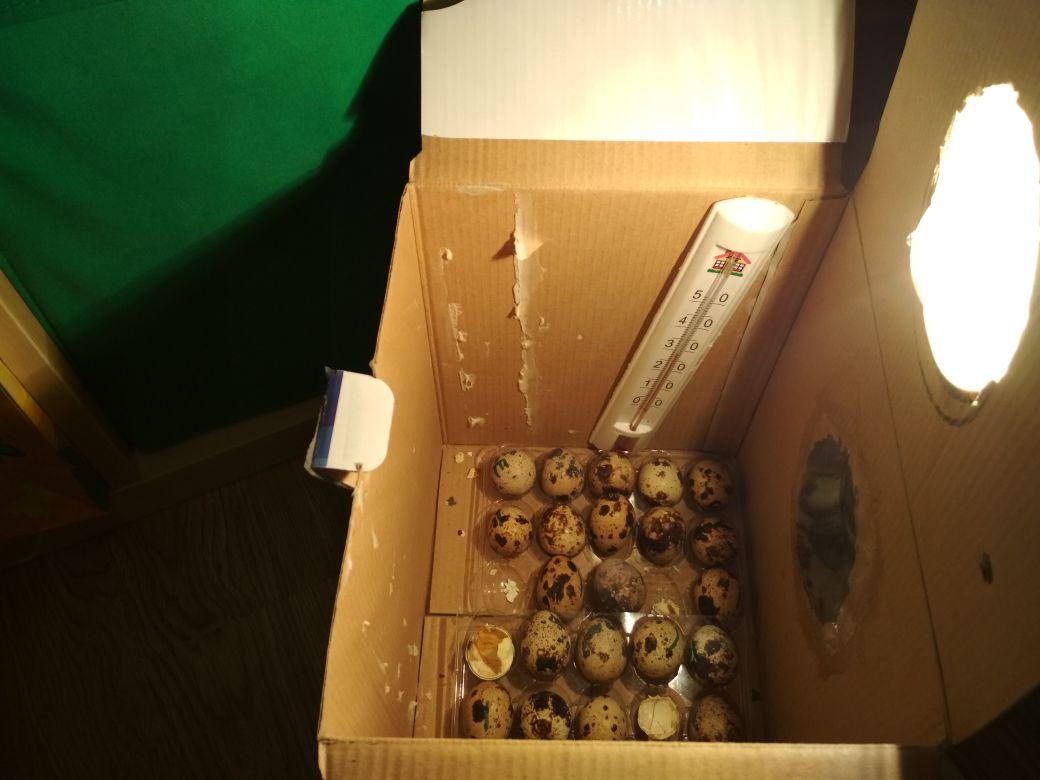 Инкубатор школьник сделал из обычной коробки