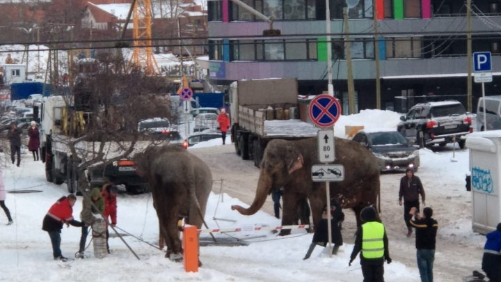 Слоны сбежали из цирка? Екатеринбуржцы сняли, как по 8 Марта разгуливают животные