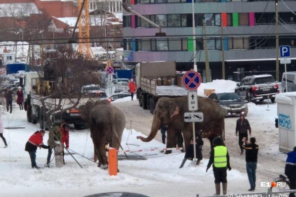 Слоны разгуливают по улице