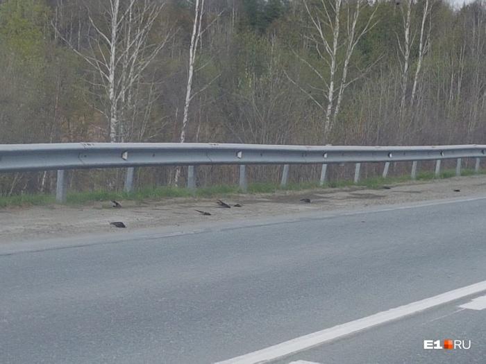 Чёрные точки на обочине —это упавшие птицы