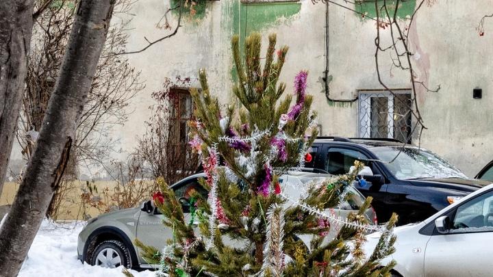 Тюменка заплатит за срубленную к Новому году пихту больше 300 тысяч рублей