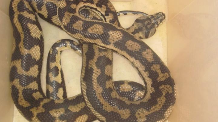 «Змея заползла через унитаз»: в Перми двухметровый питон залез в квартиру к многодетной семье