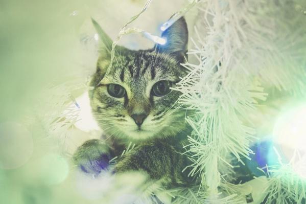Кошек привлекает запах хвои, а ещё всё яркое и шевелящееся