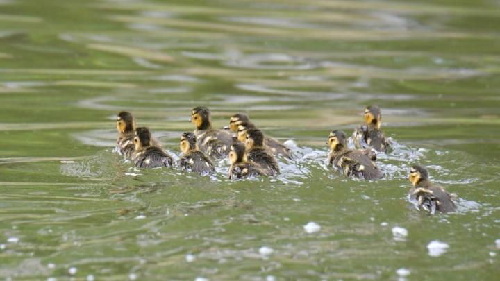 В заповеднике сфотографировали первое купание молодых утят с заботливой мамой-уткой