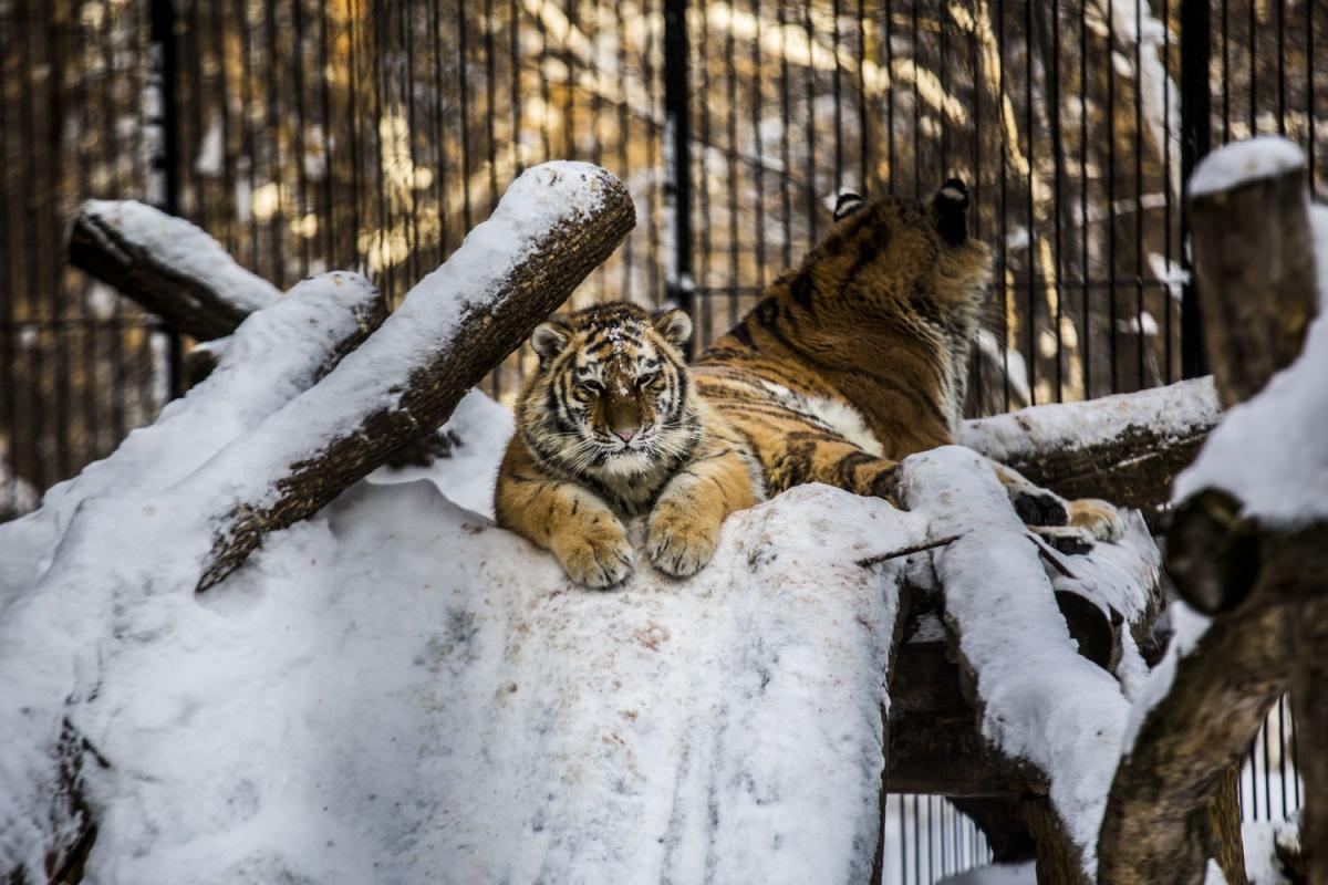 Тигры спокойно лежат на замёрзших стволах деревьев —видно, что холод этим хищникам нипочём