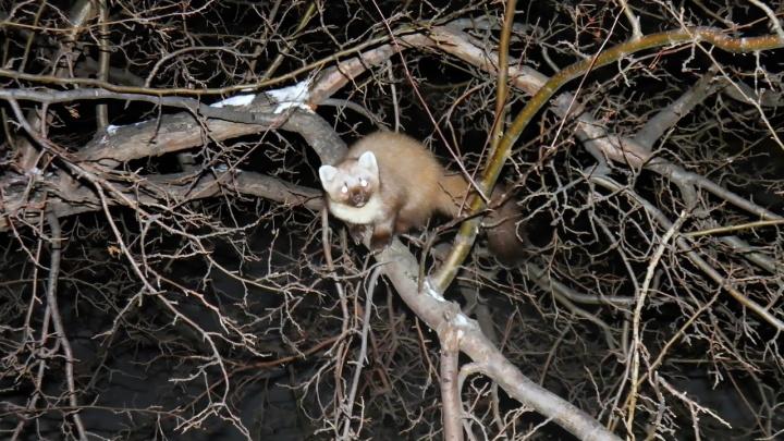 Зоопарк на балконе: за окном у сибирячки поселился хищник с ценным мехом