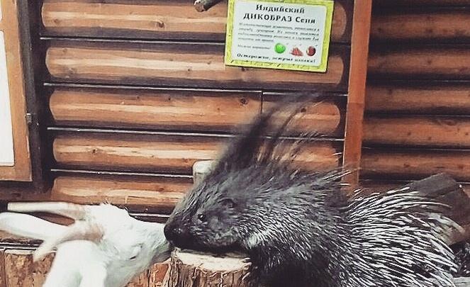 Счастливы вместе: в Уфе коза полюбила дикобраза