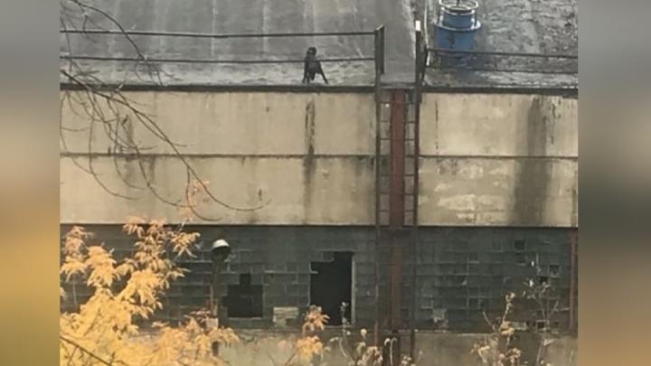 Бездомную собаку закинули на крышу цеха комбайнового завода: сидит пятый день