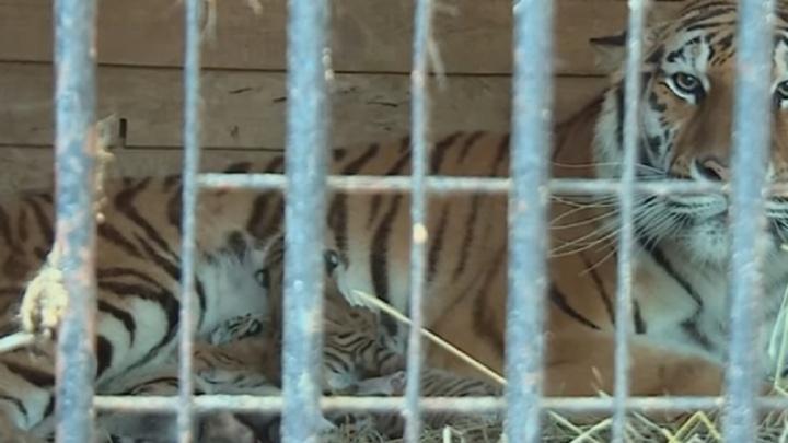В семье уфимских тигров произошло пополнение