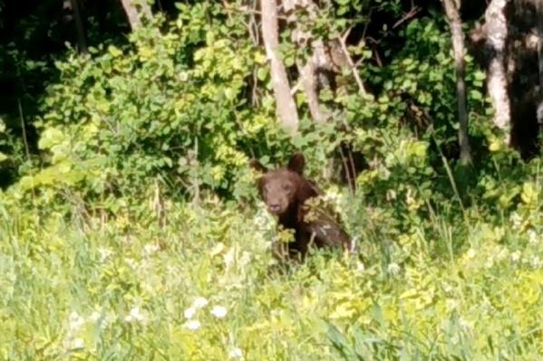 Уже подросший медвежонок с любопытством смотрел на людей
