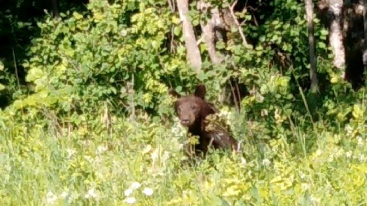 На трассу в Ярославской области вышел медвежонок