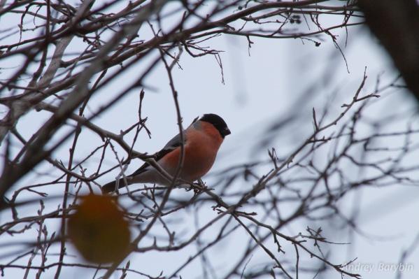 Снегирь — одна из самых красивых птиц, обитающих в Омской области