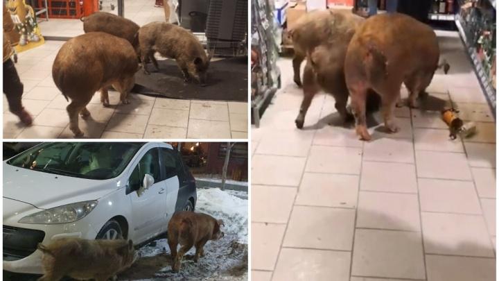 В Европейском три поросенка сбежали от хозяев и пошли в магазин за коньяком