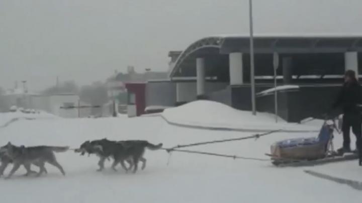 В центре Екатеринбурга, который засыпало снегом, заметили собачью упряжку: показываем видео