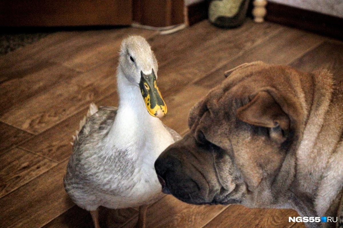 Такое могло случиться только в Омске: утка поселилась в квартире с собаками
