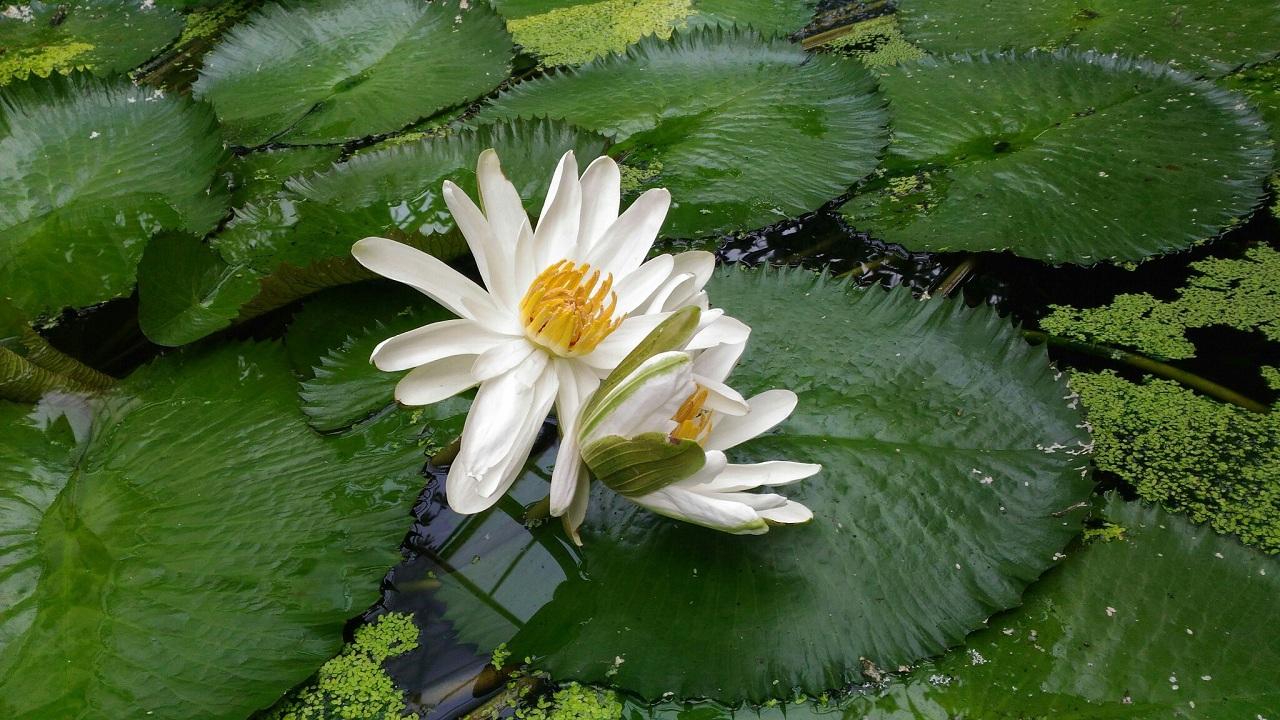 Цветы нимфеи лотуса тоже раскрываются в темное время суток