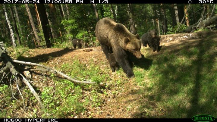 После исчезновения шумных туристов в закрытую зону «Столбов» вернулись медведи