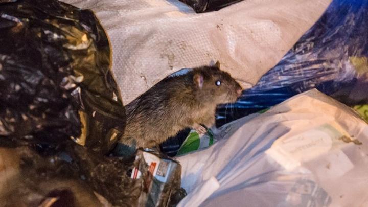 Облюбовали помойку: челябинцы сняли на видео нашествие крыс в центре города