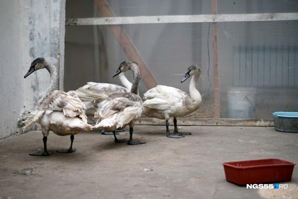 """В прошлом году под Омском <a href=""""https://ngs55.ru/news/more/65601301"""" target=""""_blank"""" class=""""_"""">спасли вмёрзших в лёд лебедей</a>. Они обосновались на страусиной ферме"""