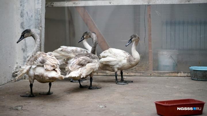 Учёные посоветовали омичам не беспокоить лебедей на Иртыше