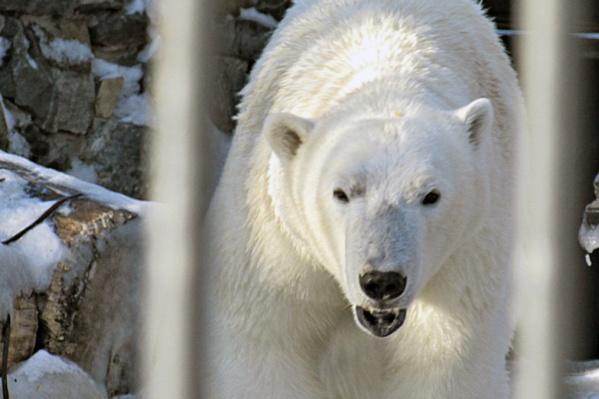 Ростика увезли в Китай накануне его 3-летия — на фото белый медведь в марте 2018 года