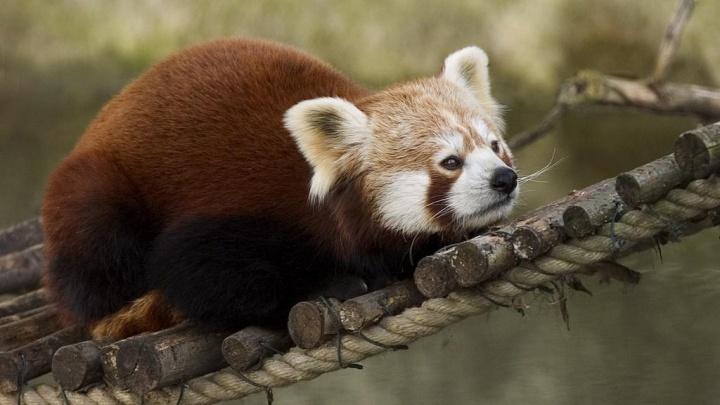 В зоопарке построят вольер для панд, которые любят смотреть на людей свысока