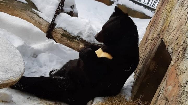 С добрым утром! В зоопарке Екатеринбурга вышли из спячки медведи