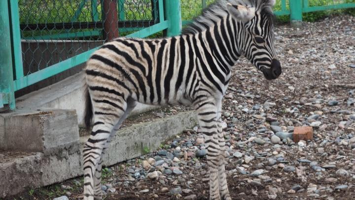 Маленький трогательный скакун родился у пары зебр в «Роевом ручье»