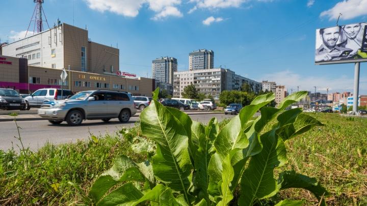Хрен вам, а не рельсы: будущая трамвайная линия на Кошурникова заросла корнеплодами