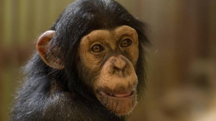 В ростовском зоопарке поселилась маленькая шимпанзе