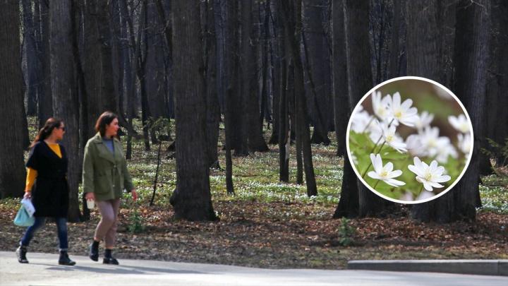 Любуемся фотографиями подснежников, которые распустились в уфимских парках