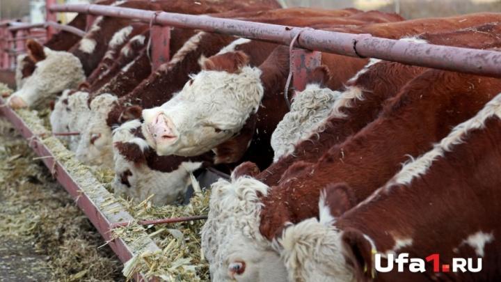 Башкирский совхоз возьмет кредит на 141 миллион рублей под залог 920 коров