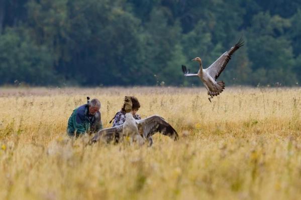 Журавли делают остановку в заповеднике перед перелетом на юг