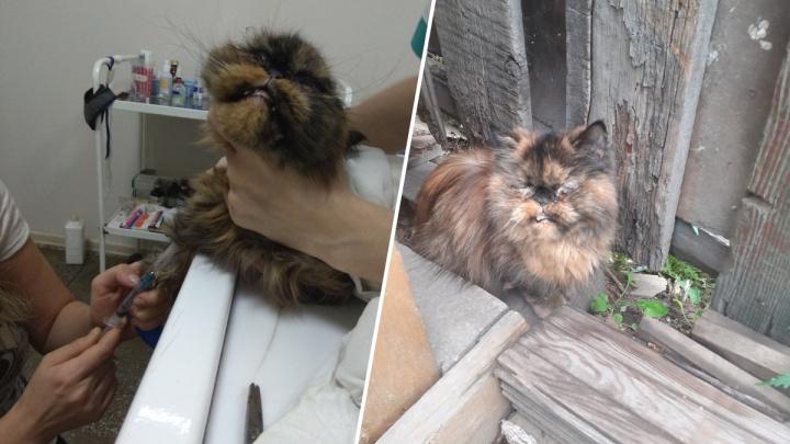 Волонтеры и ветеринары выхаживают истощенную породистую кошку, брошенную хозяевами в Николаевке