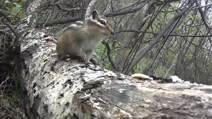 Новосибирец снял на видео диких бурундуков в лесу Академгородка