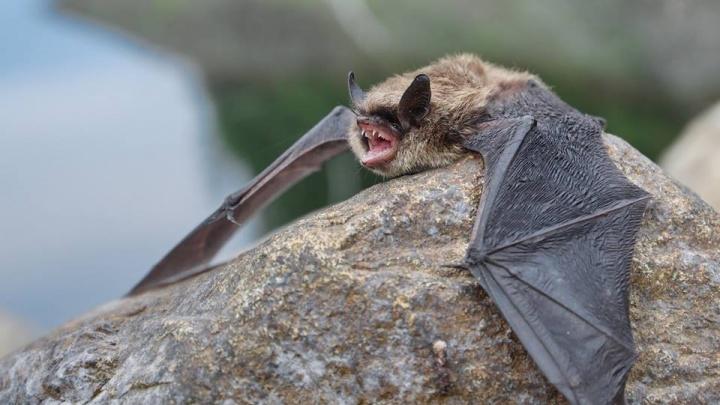 «Крохотные долгожители»: ученый с помощью спецприбора изловил летучих мышей