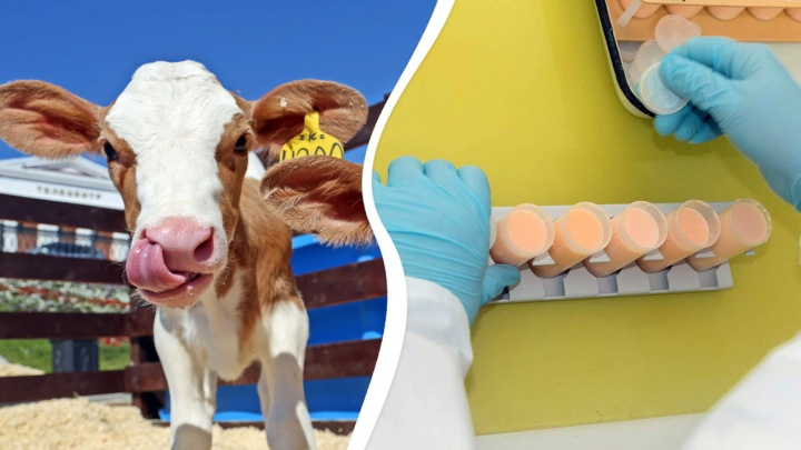 «После нас бурёнок сажают на диету»: зачем в ветеринарной лаборатории исследуют оранжевое молоко