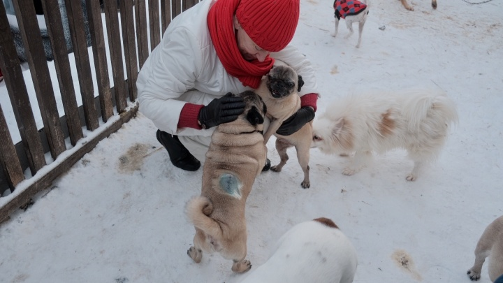 Всех не перегладишь: в Екатеринбурге гостей пустили в дом, где живут мопсы
