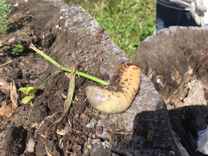 Размер личинки — 10 сантиметров